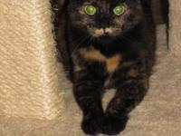 Tortoiseshell - Razzle - Small - Adult - Female - Cat