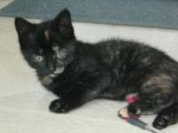 Tortoiseshell - Rita - Medium - Baby - Female - Cat