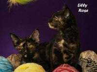 Tortoiseshell - Rose - Medium - Baby - Female - Cat