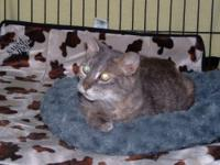 Tortoiseshell - Rosita - Medium - Adult - Female - Cat