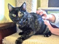 Tortoiseshell - Shelley - Medium - Baby - Female - Cat