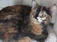 Tortoiseshell - Starr - Medium - Baby - Female - Cat