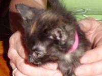 Tortoiseshell - Suzzie Q - Medium - Baby - Female -