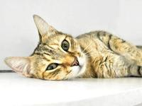 Tortoiseshell - Sweetie Pie - Medium - Young - Female -