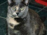 Tortoiseshell - Sybil - Large - Adult - Female - Cat