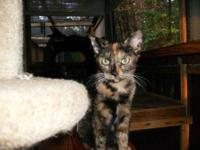 Tortoiseshell - Tessie The Tortie - Medium - Young -