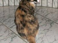 Tortoiseshell - Tiki - Large - Young - Female - Cat