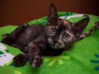 Tortoiseshell - Toots - Medium - Baby - Female - Cat