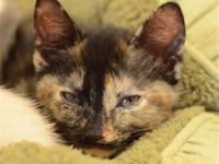 Tortoiseshell - Truffles - Medium - Baby - Female -