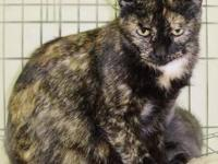 Tortoiseshell - Vaeda - Small - Adult - Female - Cat