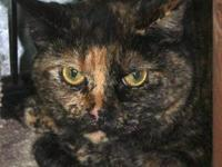 Tortoiseshell - Vega - Small - Adult - Female - Cat