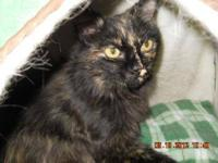 Tortoiseshell - Vienna - Medium - Young - Female - Cat