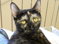 Tortoiseshell - Vivian - Medium - Adult - Female - Cat