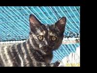 Tortoiseshell - Wicca - Large - Young - Female - Cat