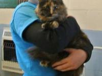 Tortoiseshell - Zoey - Medium - Adult - Female - Cat