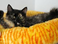 Tortoiseshell - Venus - Medium - Young - Female - Cat