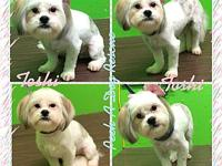 Toshi's story My name is Toshi, Im a Shihtzu/Maltese