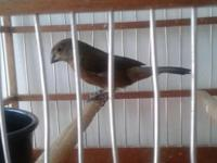 I have for sale 1 young female towa towa / curio for