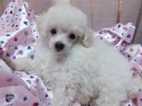 TinyToy color bred white poodle, AKC Reg. from Champion