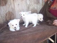 American Eskimo Pets And Animals For Sale In California Puppy And