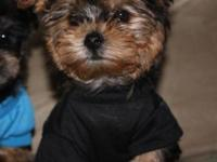 We still have 2 Morkie males readily available they are