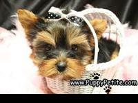 Adorable toy and teacup Yorkie puppies are here. They