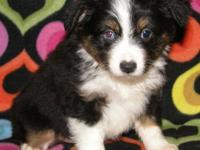 We have 3 Toy Aussie puppies currently available (as of