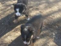have 2 black tri male toy aussie pups available.