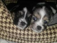 I have ASDR TOY AUSSIES FOR SALE. 2 FEMALES & 3 MALES.