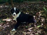 Toy Australian Shepherd male black tri available.