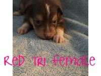 ASDR registered toy Australian shepherd puppies for