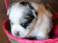 Toy Baby Australian Guard Guy Blue Merle. Born March