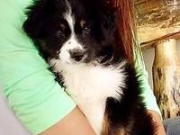 Registered Toy male Aussie 4 1/2 month, registered