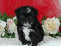 Toy Australian Shepherd Black-Tri Female #1 W/J. Cute