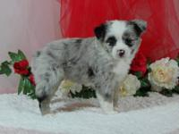 Toy Blue Merle Female #1 W/J. Very nice BMF puppy. Nice
