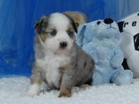 Toy Australian Shepherd Blue Merle Male #3 C/F. This is