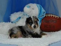 Toy Blue Merle Male #2 C/F. Cute little puppy. Flashy