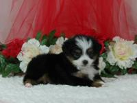 Beautiful Toy and Miniature Australian Shepherd