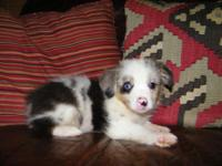 Toy Australian Shepherds. Born 7/26/14 will certainly