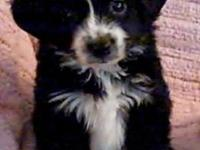 Toy Australian Shepherd Puppies. extremely sociable,