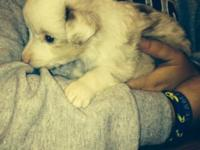 Toy Australian shepherd young puppies for sale! Both