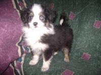 Adorable Toy Aussie Puppies available. Black Tri color,
