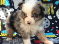 Beautiful toy Aussie pups have blue Merle and black try