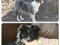Toy Australian Shepherd puppies readily available June