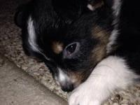 Mini/Toy Australian Shepherds Puppies available Now. 3