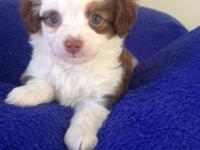 Toy Australian young puppies for sale. Will certainly