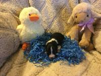 We have a wonderful litter of toy australian shepherd