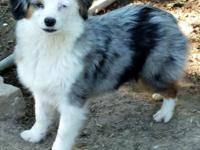 Troubadour is a Beautiful blue merle with pretty blue