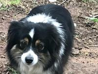 This is a beauty. Polly is a toy aussie who is shy and