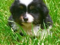 Cheyenne Star Mini and Toy Aussies offers for sale at